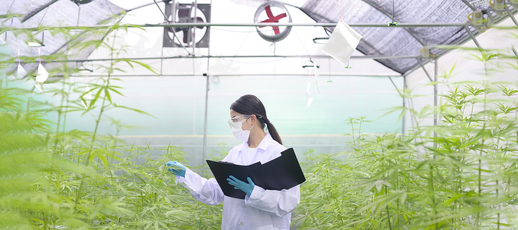 Scientist in lab coat in indoor cannabis growing operation