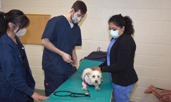 2 female and 1 male college students in blue scrubs working on a small white dog